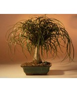 "Ponytail Palm - Large  Indoor Decor 10 years old, 16""-18"" tall - $88.00+"