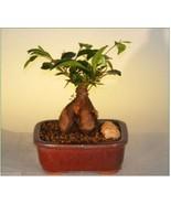 Ginseng Ficus Bonsai Tree - Small - $46.77+