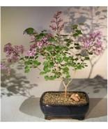 "Flowering Dwarf Korean Lilac Bonsai Tree  Bonsai 6 yr 12"" tall Outdoor - $69.00+"