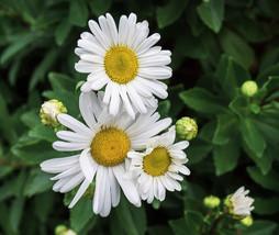 Montauk daisy 1 thumb200