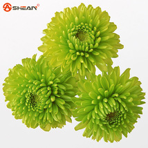 100 Balcony Potted Rare Green Chrysanthemum Flower Seed - $1.89