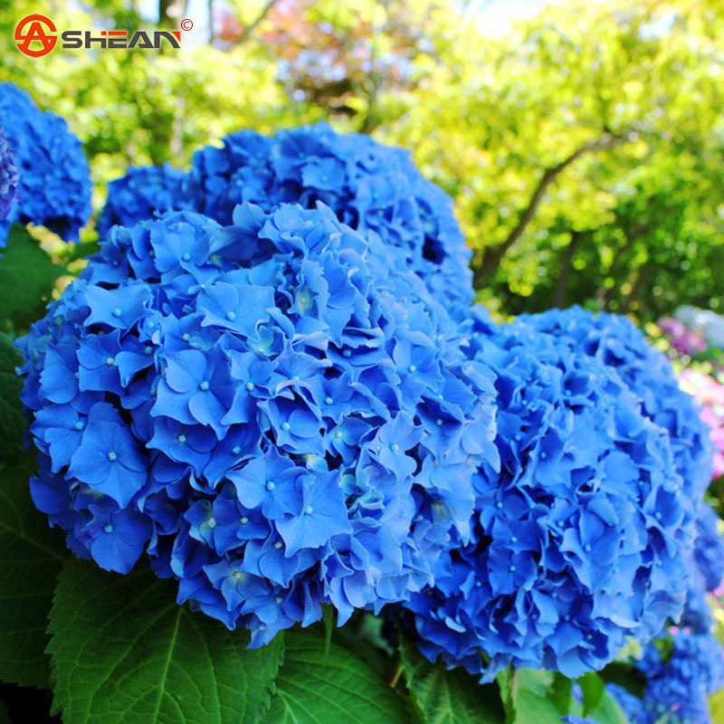 100 Blue Hydrangea Flower Seeds Beautiful Color Potted Flower Plant