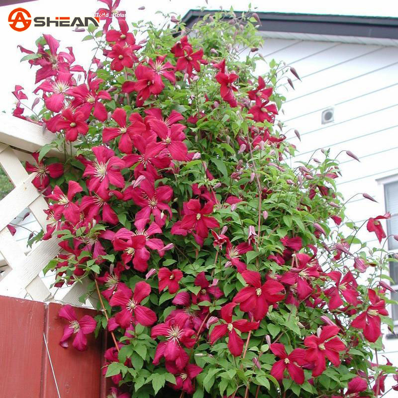 300 Red Clematis Seeds Potted Clematis Climbing Flower