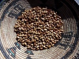 Rose's Concho Bean - ancient and very productive bean from Nambe Pueblo - $4.00