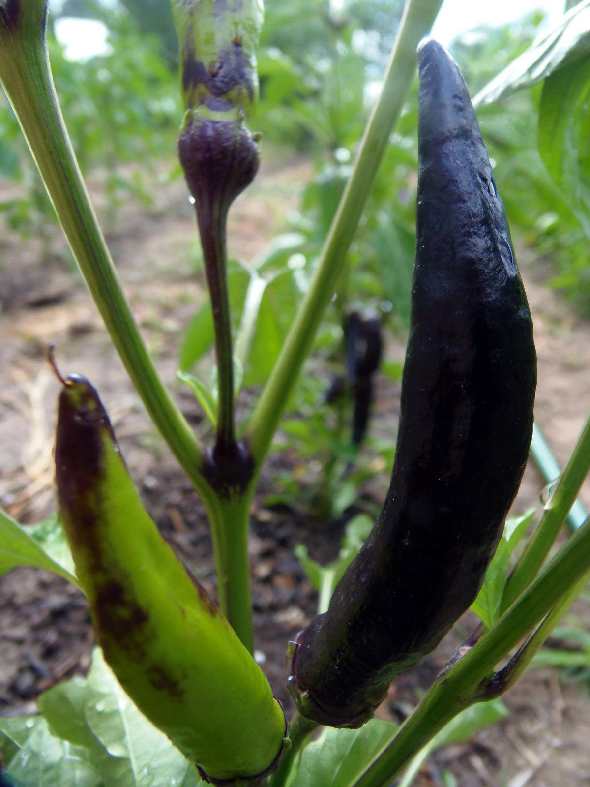 Tasmanian Black Hot Pepper - dark, smoky hot, and very rare pepper