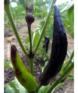 Tasmanian Black Hot Pepper - dark, smoky hot, and very rare pepper - $4.50