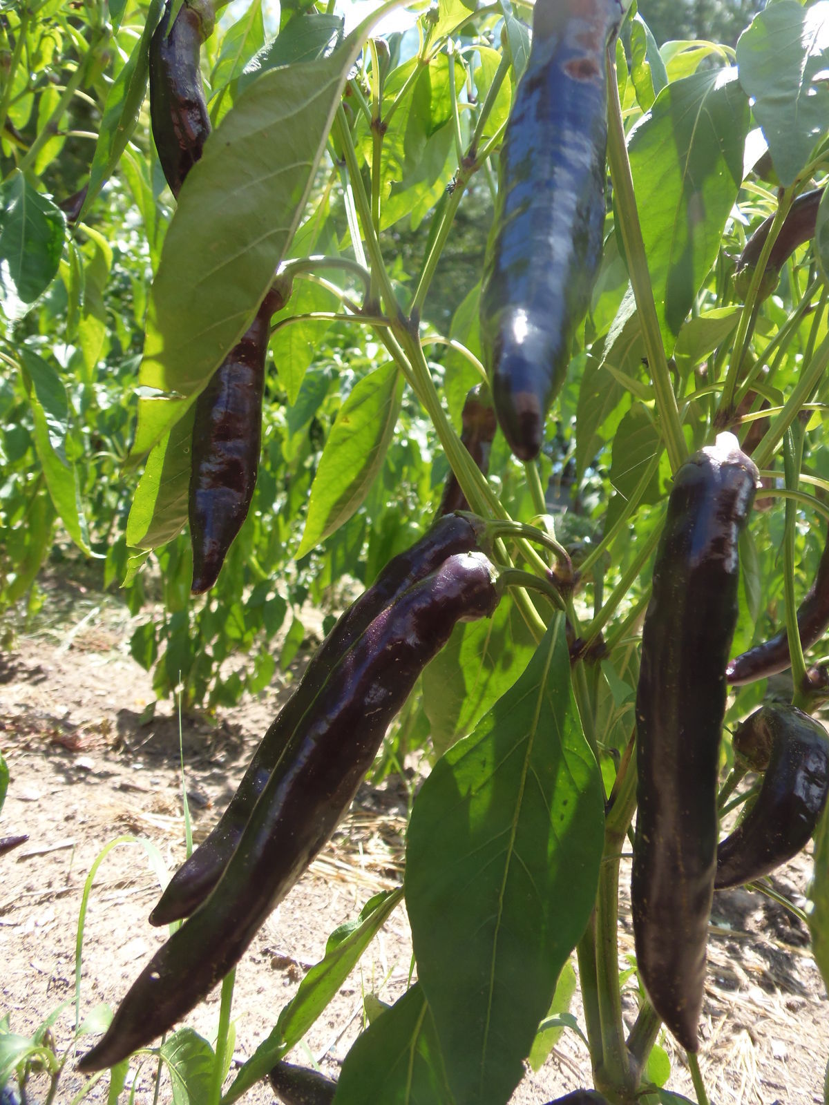 Tasmanian Black Hot Pepper - dark, smoky hot, and very rare pepper