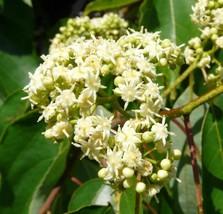 5 Variety Very Fragrant Japanese Raisin Fresh Tree Seeds #SMA1 - $15.99+