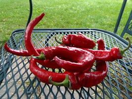 Maule's Red Hot Pepper - fast maturing hot pepper introduced in the earl... - $4.50