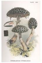 W. Hamilton Gibson: Strobilomyces Strobilaceus - Harper Publishers - 1895 - $12.82+