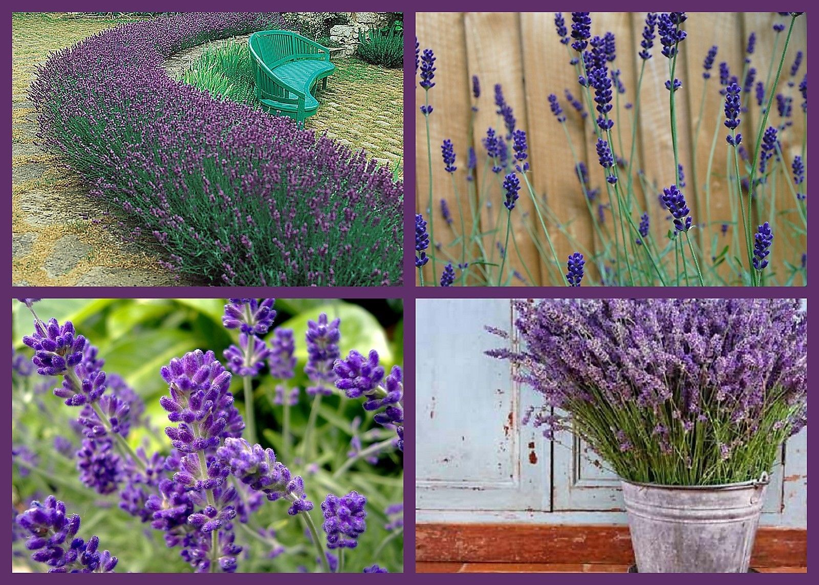 Lovely Lavender Flower Seeds 4 Pack And Similar Items