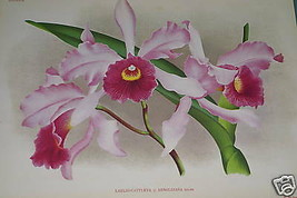 Lindenia Orchid Print Limited Edition Laeliocattleya Laelia Collectible ... - $15.19
