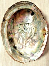 """Large 6"""" Natural Red Abalone Sea Shell - $26.71"""