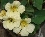 """NEW! 25+ CREAMY WHITE """"YETI"""" NASTURTIUM FLOWER SEEDS /ANNUAL"""