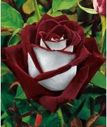 Red and white rose thumbtall