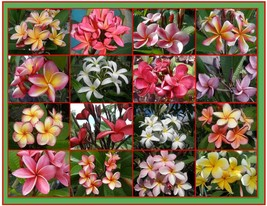 SALE 4 Hawaiian Lei Tree Plumeria frangipani tip cuttings Rare Exotic Fr... - $30.00