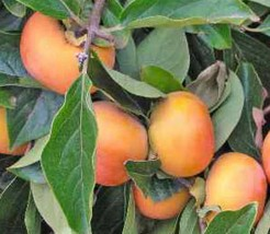 Jiro Fuyu Persimmon Japanese Fruit Tree Grafted - $37.99