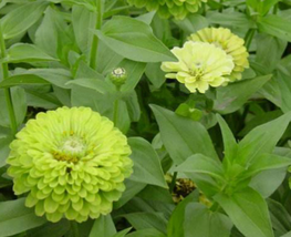 20pcs Green Zinnias Envy Seeds zinnia Very elegans double and semi double blooms - $13.94