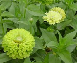 20pcs Green Zinnias Envy Seeds zinnia Very elegans double and semi doubl... - $13.94