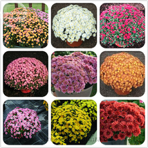 Heirloom Rare Ground-cover Chrysanthemum (Mixed) Hardy Seeds 500 Seeds - $12.50