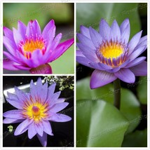 Free Shipping 20 Seeds of Purple Daisy Fairy Lo... - $6.33