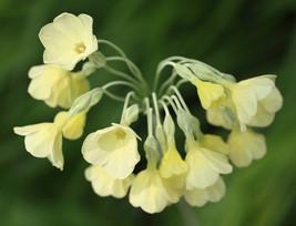 20 Primula sikkimensis Seeds, - $8.95