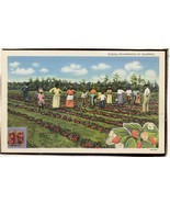 Picking Strawberries in Louisiana   Postcard 2.378 - $6.00