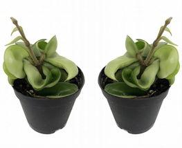 "Hindu Indian Rope - 2 Plants- Hoya - Exotic yet Easy - 2"" Pots - $34.99"