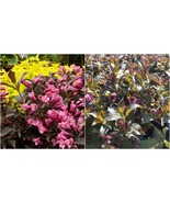 Live Plant - Dark Horse Weigela - Potted Plant - Super Roots - 1 Gallon - $86.99