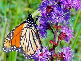 300+BUTTON (Rough) BLAZING STAR Seed Tall Gay-Feather American Native Wi... - $2.50