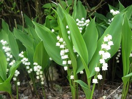 Lily of the Valley, May Lily, May Bells 5 roots-(Convallaria majalis) image 2