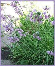 1,000 Allium Cernuum Nodding Onion Flower Seeds Outdoor Living TkLucky72 - $61.38