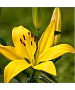 HAPPY FLOWER 2 Bulbs TLOGOWARU True Lily Bulbs Perfume Flower High germi... - $2.99