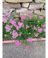 10 Live Bare Root Plants of Achillea Millefolium Pink Perennial - $43.56