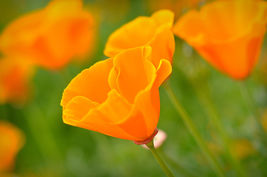 4720mg California Giant Orange Poppy Seeds ~850 Ct ~Huge Productive Wild... - $16.99