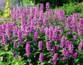 Catmint 50 Seeds - 'Pink Cat'- Nepeta nervosa - Compact, heat tolerant - $7.22