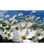 Non GMO Bulk Cosmos Seeds - Purity Cosmos bipinnatus (5 lbs) - $296.95