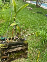 ~SALE~ Dendrobium Densiflorum Species Orchid Plant :: :: ;; image 2