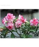 Ed adenium obesum desert rose seeds professional pack 2 seeds double petals white pink thumbtall