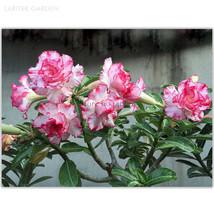 Small 'Carnation' Adenium Obesum Desert Rose 2 Seeds, white pink petals - $7.90