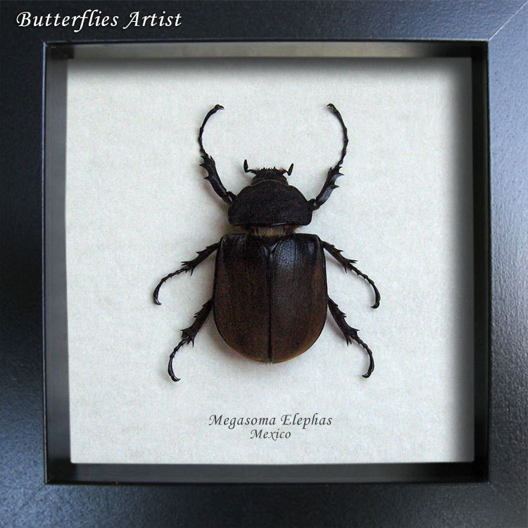 Megasoma Elephas Female Real Beetle In Museum Quality Display