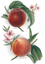 Vintage Fruit Prints: Alexander - Fruit Growers Guide - 1880 - $12.82+