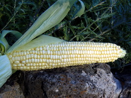 Pearl Supersweet Corn - stable, open-pollinated... - $5.00