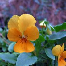 "50+ HEIRLOOM FLOWER SEEDS - PANSY/VIOLA - ""SWISS GIANT CORONATION GOLD"" ... - $6.43"