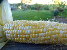 Embolden Bicolor Sweet Corn - a delicious mix of yellow and white kernels  - $5.00