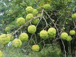 Hedge Apple Osage Orange Tree Plant 1 Gallon Pot FREE SHIP - $85.00