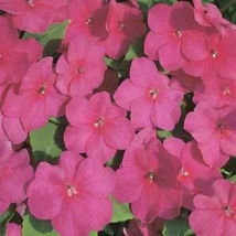 "50+ HEIRLOOM ANNUAL FLOWER SEEDS - IMPATIENS ""BABY CARMINE"" OLD TIMEY FA... - $6.43"