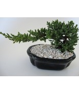 Small Juniper Bonsai - Japanese Dwarf Juniper - You Pick Color - Zen, Gift - $25.00