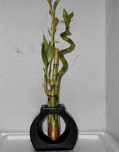 Live Spiral 4 Style Lucky Bamboo Plant Arrangement with Ceramic Vase Bla... - $25.00