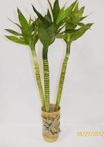 "3 Lotus Bamboo with 8"" Hight Ceramic Pots (FREE SHIPPING) - $30.99"